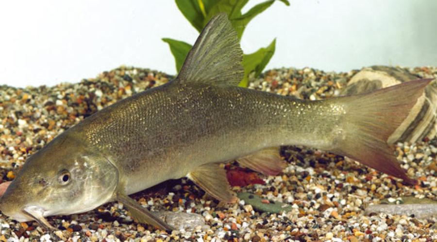 Il pesca Barbo un pesce con una straordinaria forza